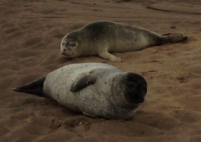 Grey Seals at Lindisfarne Causeway
